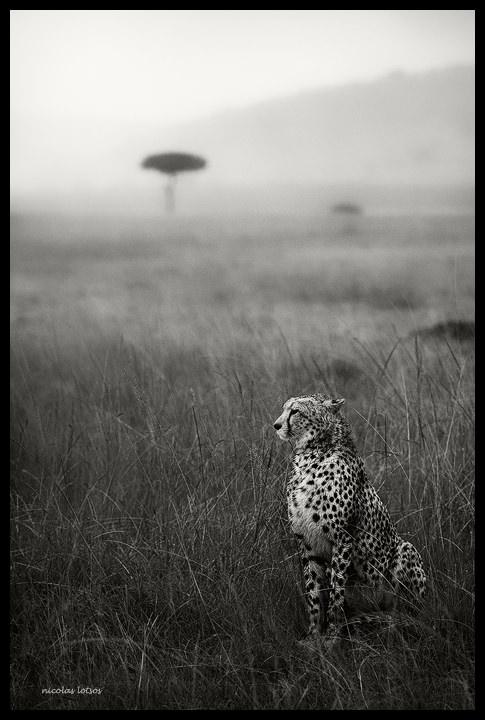 cheetah-mist