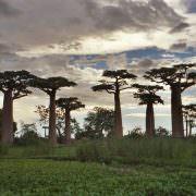 The amazing, photogenic Boabab trees