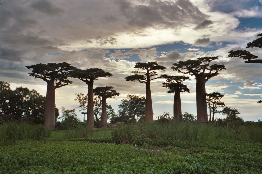 The amazing, photogenic Boabab trees