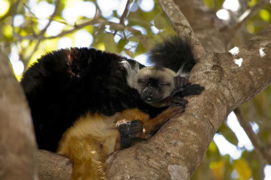 A lemur mother and cub during siesta time at the Lokobe park
