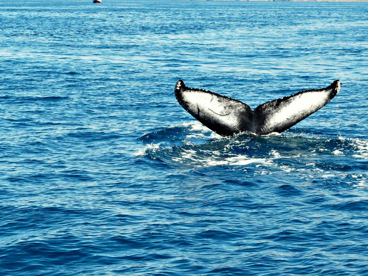 humpback2